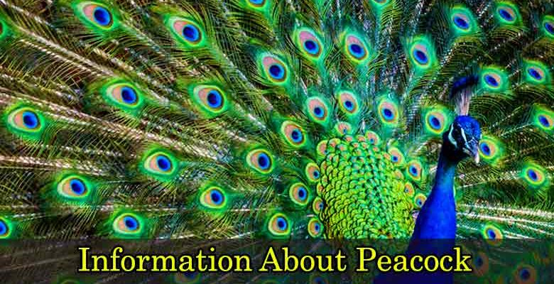 Information About Peacock