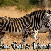 Interesting Zebra Facts & Information