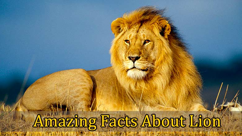 facts-about-lion