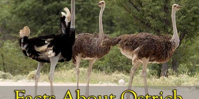 Facts-About-Ostrich